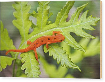 Red Eft Eastern Newt Wood Print by Christina Rollo