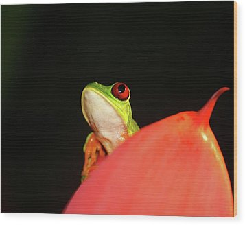 Red-eyed Tree-frog Wood Print by Brian Magnier