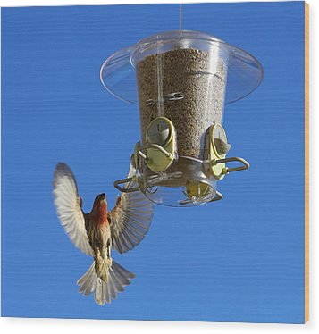 Red Finch And Feeder Wood Print