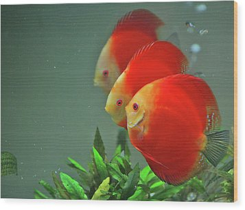 Red Fish Wood Print by Vietnam