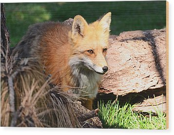 Red Fox On Patrol Wood Print