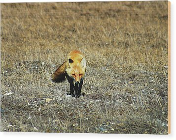 Wood Print featuring the photograph Red Fox On The Tundra by Anthony Jones