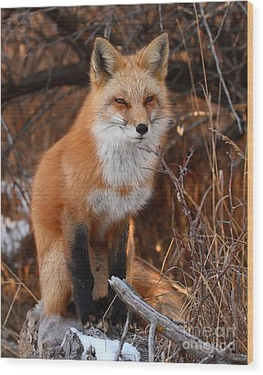 Red Fox Pausing Atop Log Wood Print