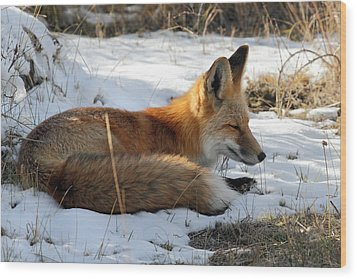 Red Fox Sleeping In The Snow Wood Print by Pierre Leclerc Photography