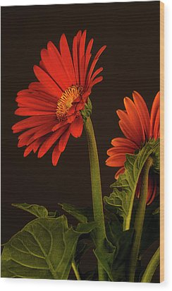 Red Gerbera Daisy 1 Wood Print by Richard Rizzo