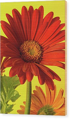 Red Gerbera Daisy 2 Wood Print by Richard Rizzo
