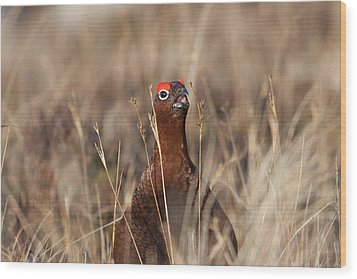 Red Grouse Calling Wood Print