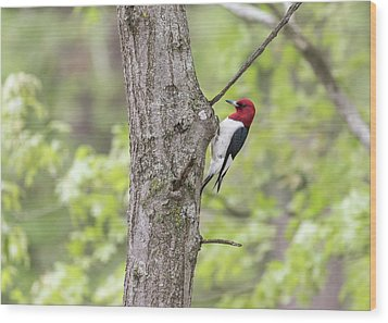 Red-headed Woodpecker 2017-2 Wood Print by Thomas Young