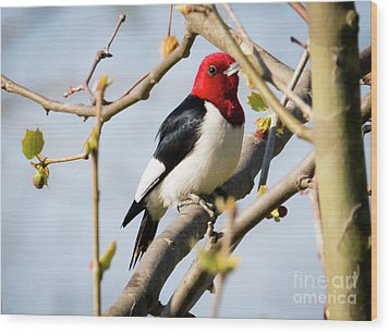 Wood Print featuring the photograph Red-headed Woodpecker At A Glace  by Ricky L Jones