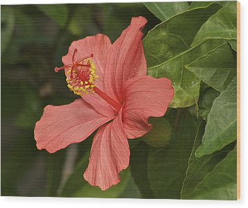Red Hibiscus Wood Print by Michael Peychich