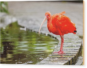 Wood Print featuring the photograph Red Ibis by Alexey Stiop