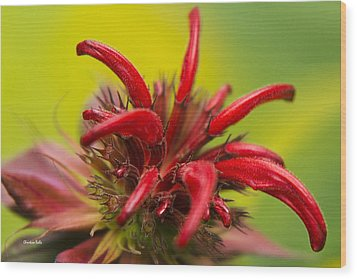 Red Monarda Flowers - Bee Balm Wood Print by Christina Rollo