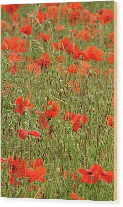 Red Poppies Wood Print by Wayne Molyneux