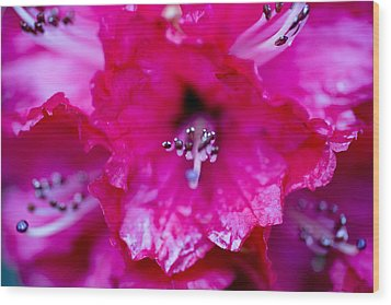 Red Rhododendron Wood Print by Frank Tschakert