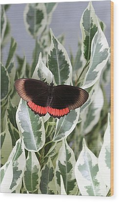 Red Rim Butterfly Wood Print