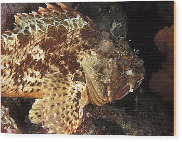 Red Rock Cod Fish. Scorpaena Papillosa Wood Print by James Forte