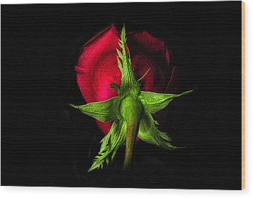 Red Rose In Reverse Wood Print by Zev Steinhardt