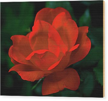 Red Rose In Sunlight Wood Print