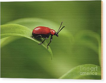 Red Scarlet Lily Beetle On Plant Wood Print