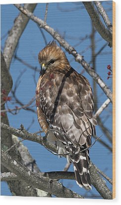 Wood Print featuring the photograph Red Shouldered Hawk 2017 by Bill Wakeley