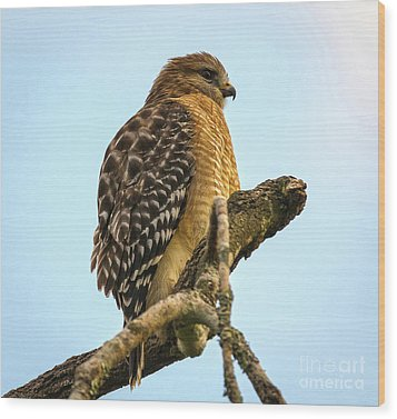 Red-shouldered Hawk - Buteo Lineatus Wood Print