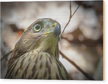 Red-shouldered Hawk Fledgling 3 Wood Print