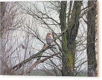 Red Shouldered Hawk Wood Print by Wingsdomain Art and Photography
