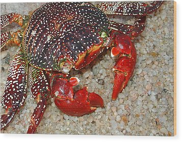 Red Spotted Crab Wood Print by Karon Melillo DeVega