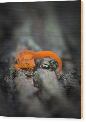 Wood Print featuring the photograph Red Spotted Newt by Chris Bordeleau