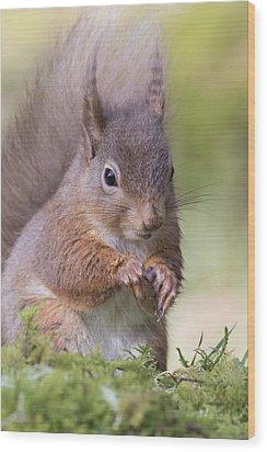 Red Squirrel - Scottish Highlands #1 Wood Print
