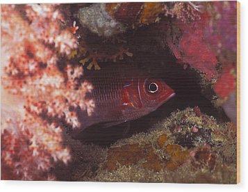 Red Squirrelfish Hiding Under Reef Wood Print by James Forte