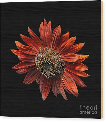 Red Sunflower On Black Wood Print