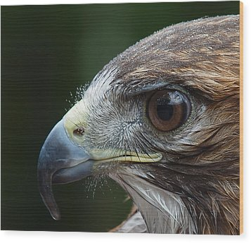 Red Tail Hawk Misted Wood Print by Peter Gray