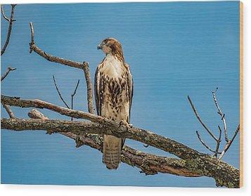 Red Tail Hawk Perched Wood Print