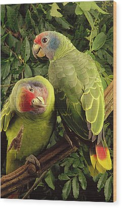 Red-tailed Amazon Amazona Brasiliensis Wood Print by Claus Meyer