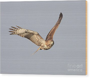 Red Tailed Hawk - 20100101-7 Wood Print by Wingsdomain Art and Photography