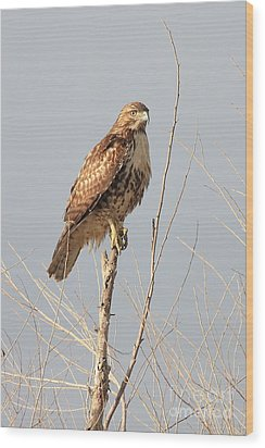 Red-tailed Hawk . 40d11323 Wood Print by Wingsdomain Art and Photography