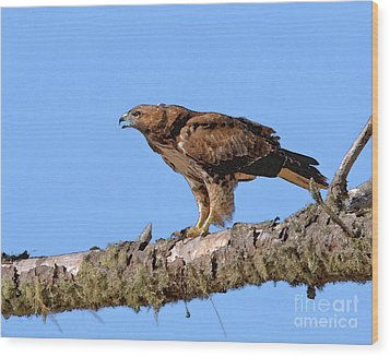 Red-tailed Hawk Wood Print by Betty LaRue