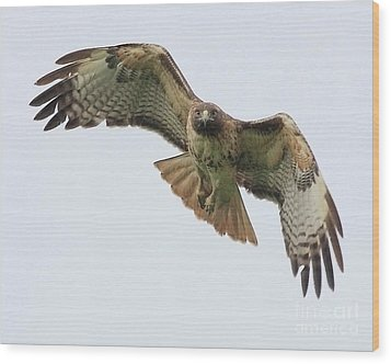 Red Tailed Hawk Finds Its Prey Wood Print