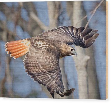 Wood Print featuring the photograph Red Tailed Hawk Flying by Bill Wakeley