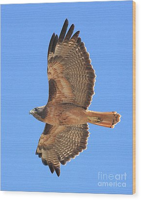 Red Tailed Hawk In Flight 2 Wood Print by Wingsdomain Art and Photography