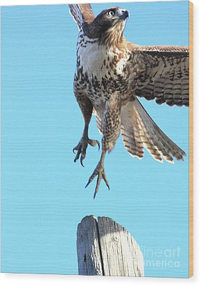 Red Tailed Hawk Taking Off . 40d10170 Wood Print by Wingsdomain Art and Photography