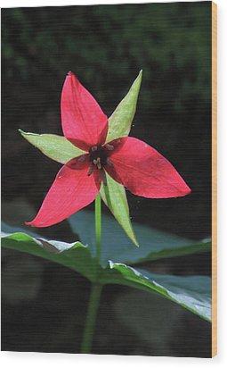 Red Trillium Wildflower Wood Print by John Burk