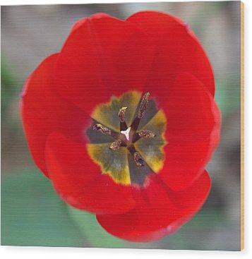 Red Tulip In 3d Wood Print by Liz Allyn