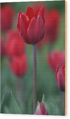 Red Tulip Wood Print by Martina Fagan