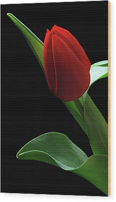 Red Tulip. Wood Print by Terence Davis