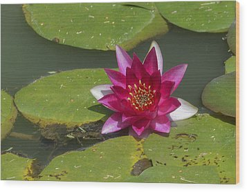 Red Water Lily Wood Print by Linda Geiger