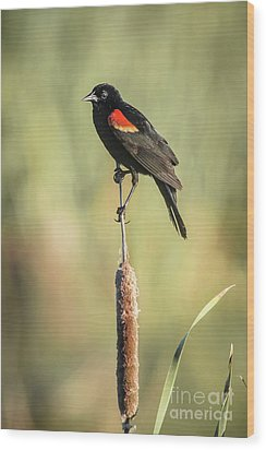 Red-wing On Cattail Wood Print by Robert Frederick