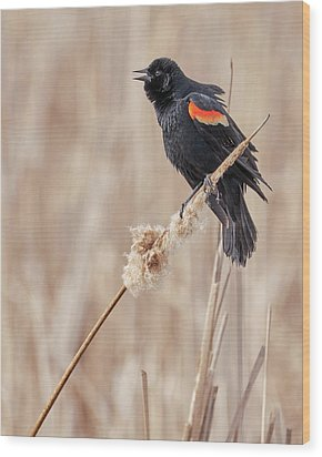 Male Red-winged Blackbird In A Minnesota Marsh Wood Print by Jim Hughes