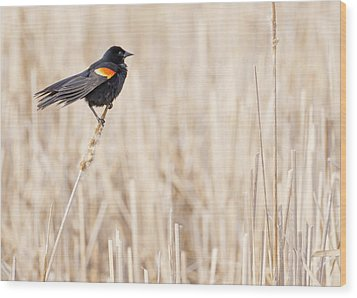 Red-winged Blackbird In A Minnesota Wetland Wood Print by Jim Hughes